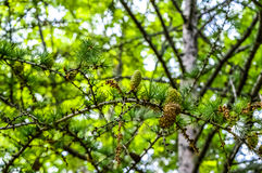 Pine cones on a branch. Stock Photos