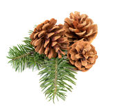 Pine cones on branch Stock Images