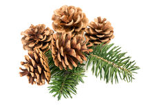 Pine cones on branch Stock Photography