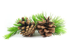 Pine cones and branch. White pine branches and cones photographed in the ground Stock Image