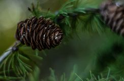 Pine cones on branches Stock Photography