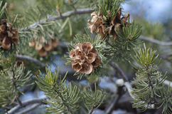 Pine Cones on branches. Pine cones on tree in the winter time. Shallow depth of field. Focus on forefront pine cone Royalty Free Stock Photography
