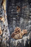 Pine cones in a burnt tree hollow. Royalty Free Stock Photo