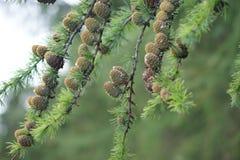 Pine Cones. Captured in the woods near Bridge of Allan, Scotland Stock Photos