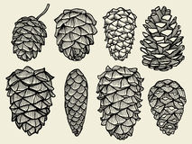 Pine cones of cedar spruce fir. Pine set. hand-drawn vector illustration Royalty Free Stock Images