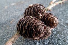 Pine Cones. Close up of group of four pine cones against plain grey background Royalty Free Stock Photo