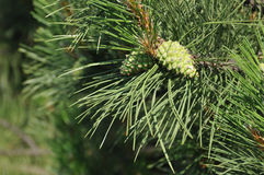 Pine with cones closeup Stock Images