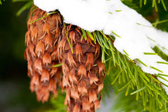 Pine cones covered in snow Royalty Free Stock Images