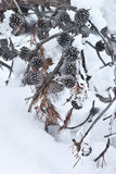 Pine cones covered with snow Stock Image
