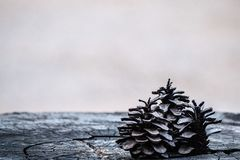 Pine cones on cracks stump royalty free stock photo
