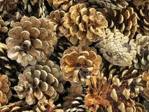 Pine cones. Decoration with brown pine cones Stock Photo