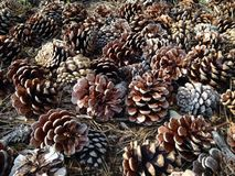 Dried Pine Cones on Forest Floor. Stock Photography