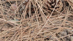 Pine cones among fallen needles on the forest floor stock video