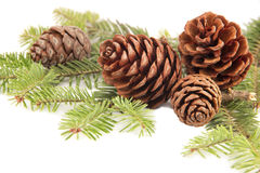 Pine cones  at the fir branch Royalty Free Stock Images