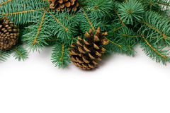 Pine cones and fir-tree Royalty Free Stock Photos