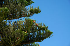 Pine Cones. On a Fir Tree in Summer Stock Photo