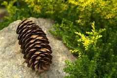 Pine cones and flowers. In a composition in a botanical garden Royalty Free Stock Image