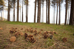 Pine cones on forest floor Stock Images