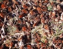 Pine Cones 2. Pine cones on forest floor in sunlight Stock Image
