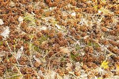 Pine cones in the forest on the ground. Background stock photo