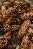Pine cones background. Pine cones in forest. Pine cones background royalty free stock photos