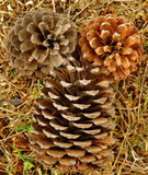 Pine cones on the grass Stock Photos