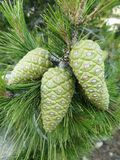 Pine cones. Royalty Free Stock Photography
