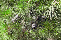 Pine cones. Green prickly branches of a fur-tree or pine Stock Images