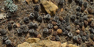 Pine cones on the ground. Royalty Free Stock Images