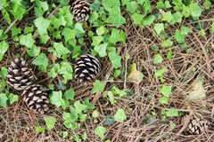 Pine cones on ground Stock Images