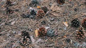 Pine cones on the ground in forest. Pine cones on the ground in the forest stock video