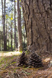 Pine cones. On the ground in the forest Stock Photography