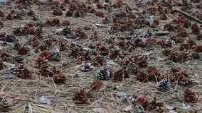 Pine cones on the ground in forest. Pine cones on the ground in the forest stock video footage