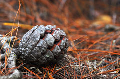 Pine cones on the ground. In the grass forest Royalty Free Stock Image