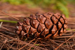 Pine cones on the ground in pine forest Stock Photos