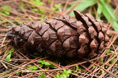 Pine cones on the ground in pine forest Royalty Free Stock Photography