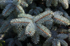 Pine cones hanging from the branches of an evergre Stock Images