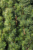 Pine cones hanging from the branches of an evergre Royalty Free Stock Image