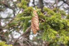 Pine cones hanging on Fir branch Stock Photo