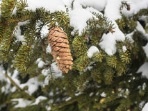 Pine cones on hanging from snow covered branch Royalty Free Stock Photography