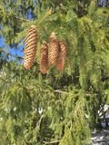 Pine cones hanging. Pine cones in tree snow winter Stock Photography