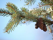 Pine cones in tree Royalty Free Stock Image