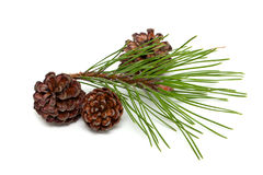 Pine with cones Royalty Free Stock Photography
