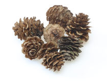 Pine cones of larches Royalty Free Stock Photography