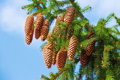 Pine cones Stock Photo