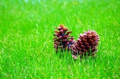 Pine cones in a meadow Stock Images