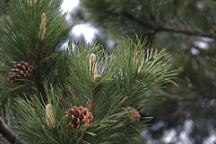 Pine cones and needles Royalty Free Stock Images