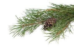 Pine cones and needles Stock Photos
