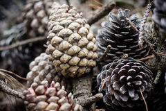 Pine Cones and Needles in forest Stock Photo
