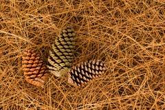 Pine Cones Needles Stock Image
